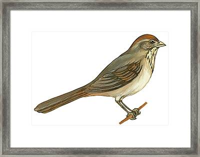 Brown Towhee Framed Print by Anonymous