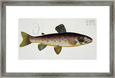 Brown Trout Framed Print by Andreas Ludwig Kruger