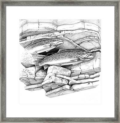 Brown Trout Pencil Study Framed Print by Jon Q Wright