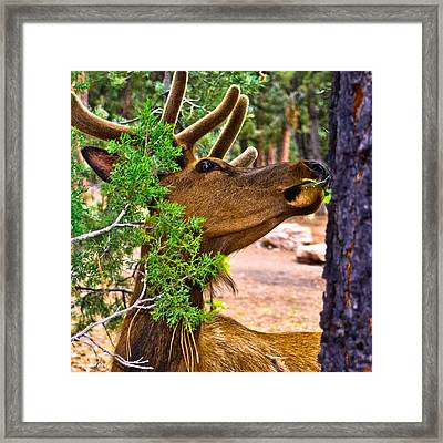 Browsing Red Deer In The Grand Canyon Framed Print by Bob and Nadine Johnston