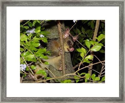 Brushtail Possum Framed Print by Dani Katz