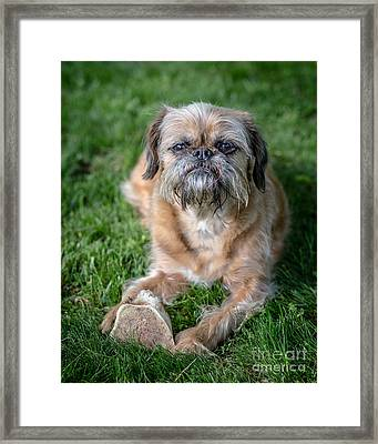 Brussels Griffon Framed Print by Edward Fielding