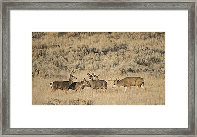 Buck And His Harem Framed Print by Loree Johnson