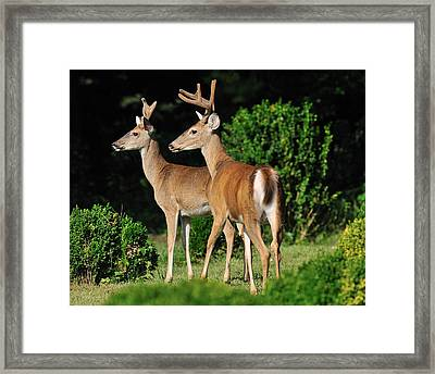 Bucks In Silk Framed Print by Angel Cher