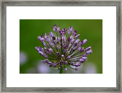 Budding Allium Framed Print by Denyse Duhaime