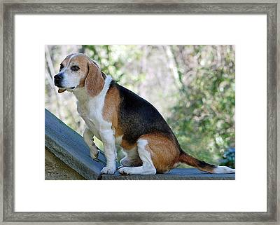 Buddy Framed Print by Lisa Phillips