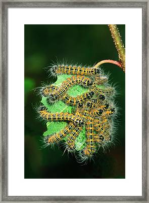 Buff-tip Moth Caterpillars Framed Print by Nigel Downer