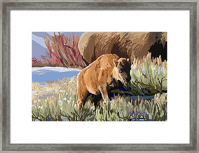 Buffalo Calf Framed Print by Pam Little