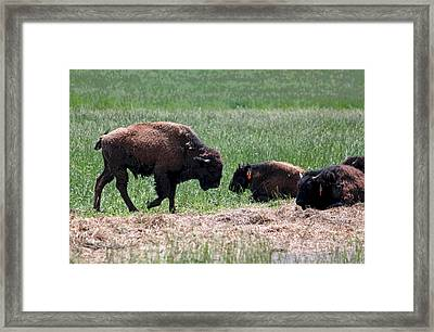 Buffalo Farm In Craig County Va Framed Print by Suzanne Gaff