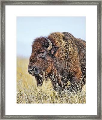 Buffalo Portrait Framed Print by Dale Erickson