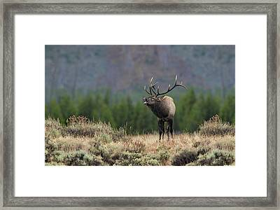 Bull Elk Calling Framed Print by Daniel Behm