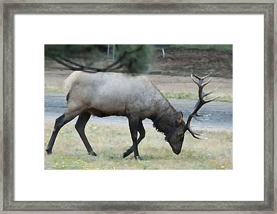 Bull Elk Palette Knife Framed Print by Brad Strickland MEd