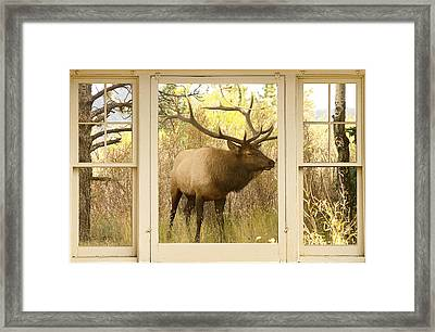 Bull Elk Window View Framed Print by James BO  Insogna