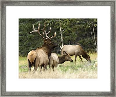 Bull Elk With His Harem Framed Print by Bob Christopher