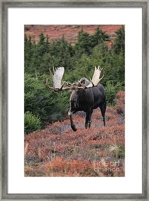 Bull Moose In Autumn Framed Print by Tim Grams