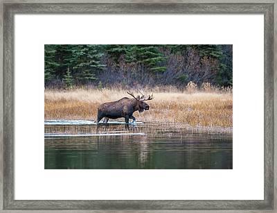 Bull Moose In Rut Wades In A Pond Framed Print by Michael Jones