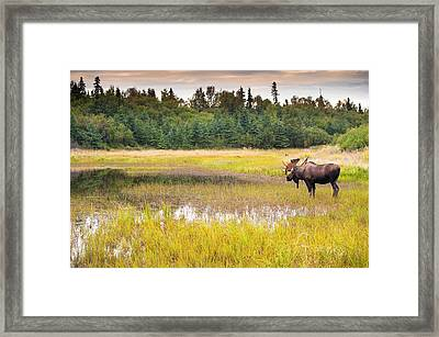 Bull Moose In Velvet Wades In Marshy Framed Print by Michael Jones