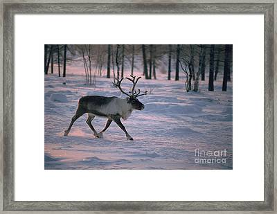 Bull Reindeer In  Siberia Framed Print by Bryan and Cherry Alexander