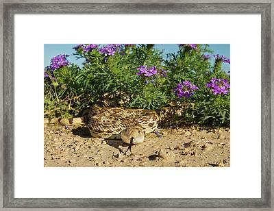 Bull Snake (pituophus Catenifer Sayi Framed Print by Larry Ditto