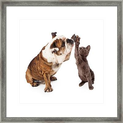Bulldog And Kitten High Five  Framed Print by Susan  Schmitz