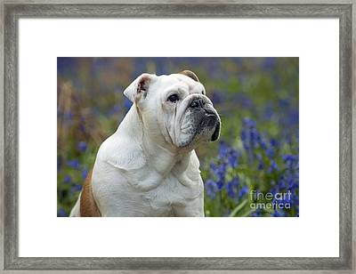 Bulldog In Bluebells Framed Print by John Daniels