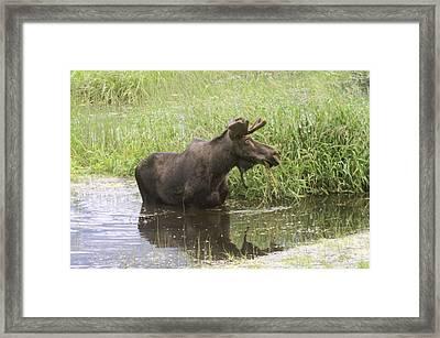 Bullwinkle  Framed Print by Jeff Swan