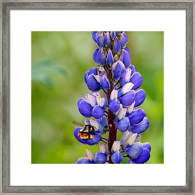 Bumble Bee And Lupine Framed Print by Art Block Collections