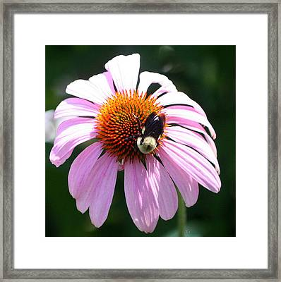 Bumble Bee On Cone Flower Framed Print by Paula Tohline Calhoun
