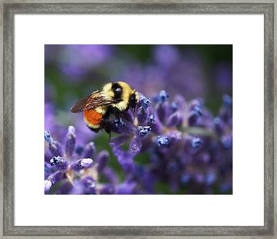 Bumblebee On Lavender Framed Print by Rona Black