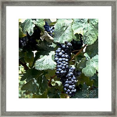 Bunch Of Grapes Framed Print by Heiko Koehrer-Wagner