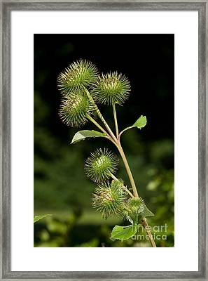 Burdock Flower Buds Framed Print by Frank Teigler