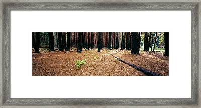 Burnt Pine Trees In A Forest, Yosemite Framed Print by Panoramic Images