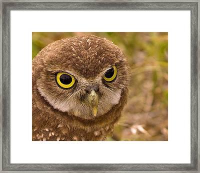 Burrowing Owl Portrait Framed Print by Anne Rodkin