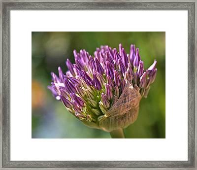 Bursting Allium Purple Sensation Framed Print by Rona Black