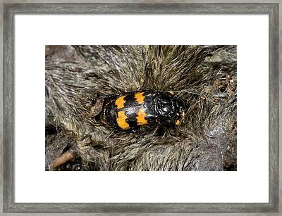 Burying Beetle On A Dead Mole Framed Print by Bob Gibbons