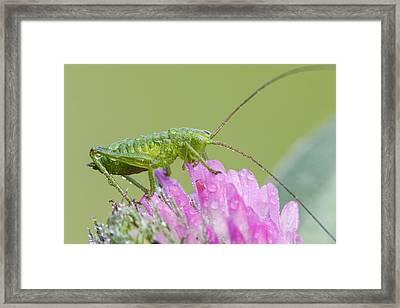 Bush Cricket Framed Print by Heath Mcdonald