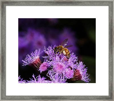 Busy Australian Bee Collecting Pollen Framed Print by Margaret Saheed