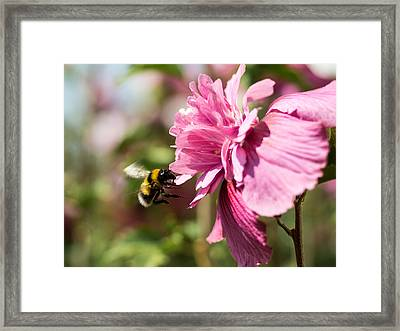 Busy Bee Framed Print by Marco Oliveira