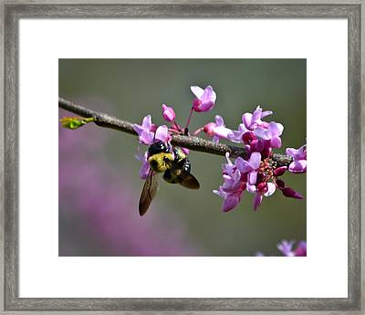 Busy Bee On The Bud Framed Print by Mary Zeman