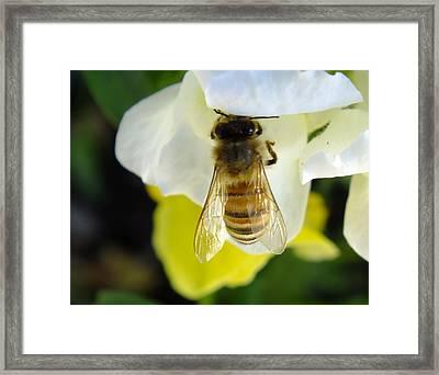 Busy Bee Toowoomba Queensland Australia Framed Print by Sandra Sengstock-Miller