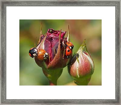 Busy Ladybugs Framed Print by Rona Black