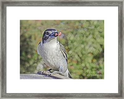 Butcherbird With Meat Framed Print by Christopher Edmunds