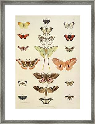 Butterflies Framed Print by British Library