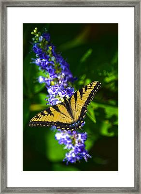Butterflly Bush And The Swallowtail Framed Print by Sandi OReilly