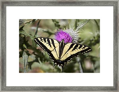 Butterfly Framed Print by Ashley Balkan