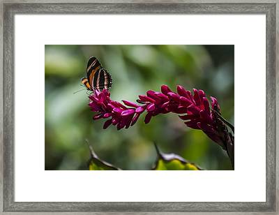 Butterfly At The End Of A Red Flower Framed Print by Sven Brogren