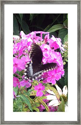 Butterfly Framed Print by Cynthia Harvey
