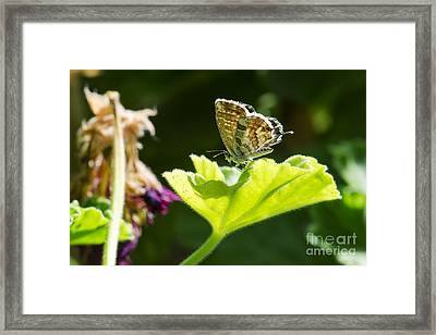 Butterfly Framed Print by Giovanni Chianese
