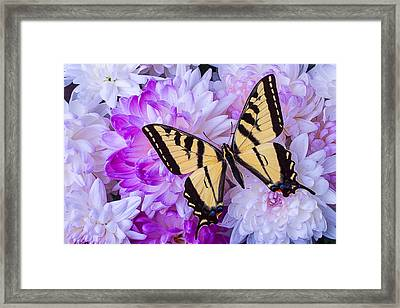 Butterfly In The Mums Framed Print by Garry Gay