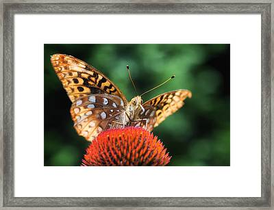 Butterfly On Coneflower Framed Print by Lori Coleman
